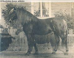 Finnhorse stallion Lippari, born 1886 Rare Horses, Horses And Dogs, Rare Horse Breeds, Gentle Giant, Donkeys, Beautiful Horses, Equestrian, Cave, Pony