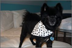 How To Make a Reversible Slip Over the Collar Dog Bandana - Sparkles of Sunshine Dog Collar Bandana, Diy Dog Collar, Dog Collars, Animal Projects, Animal Crafts, Pet Beds, Dog Accessories, Dog Treats, Yorkie