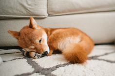 shiba inu. He looks like a baby fox! If I get a dog I want one of these.