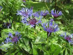 CENTAUREA montana 'Grandiflora' -  Knopurt, farve: blå/lilla midte, lysforhold: sol, højde: 60 cm, blomstring: juni - august, velegnet til snit.