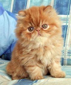 A beautiful Persian kitten……