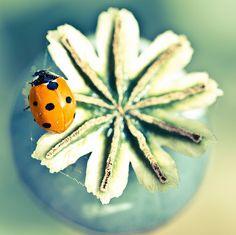 Ladybug Resting on a Poppy Pod