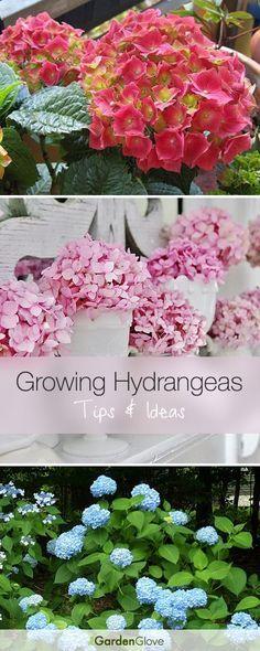 Growing Hydrangeas • Lots of Tips & Ideas!