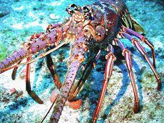 Spiny Lobster US Virgin Islands