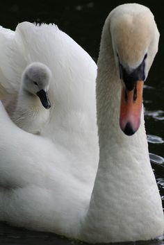 swan and cygnet (baby swan)