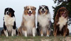 Австралийская овчарка | Породы собак | Животные и породы | animal.ru