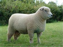 heritage breed sheep | Ryeland Sheep Breed & Breeding | Breedersales