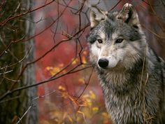 a wolf Beautiful Wolves, Animals Beautiful, Cute Animals, Der Steppenwolf, Le Husky, Tier Wolf, Photo Animaliere, Wolf Stuff, Howl At The Moon