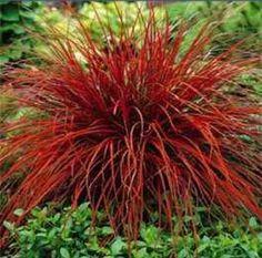 """""""Fire dance"""" ornamental grass"""
