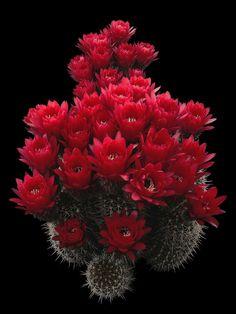 Echinopsis huascha (F.A.C. Weber) H.Friedrich