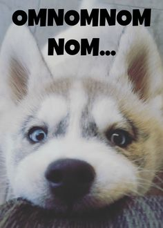 lovely #Siberian #Husky pup | #dog #dogs www.fordogtrainers.com