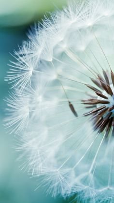 Dandelion-spring-iPhone-Wallpaper