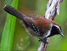 Sincora Antwren, endemic to a small area of eastern Brazil, and a member of the antbird family