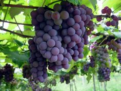 O cacho de uvas