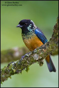 Spangle-cheeked Tanager, Costa Rica