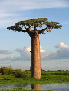 Adansonia grandidieri is the most famous variety of a family of trees called Baobabs, which are indigenous to Madagascar