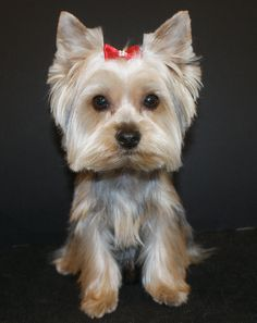 Dog Grooming Yorkshire Terrier -- Visit the image link for more details on taking care of pet dogs.