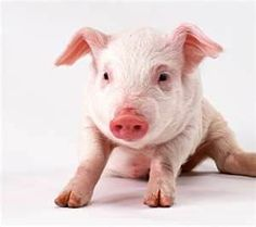 Best representation descriptions: Wallpaper Funny Pet Pig Related searches: Teacup Pigs as Pets,Teacup Pigs,Pet Pigs That Stay Small,Pet Po. Pink Animals, Animals And Pets, Baby Animals, Cute Animals, Pet Pigs, Baby Pigs, Pig Png, Pig Images, Pig Wallpaper