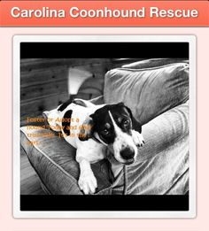 kelly@carolinacoonhoundrescue.com  adopt@carolinacoonhoundrescue.com foster@carolinacoonhoundrescue.com