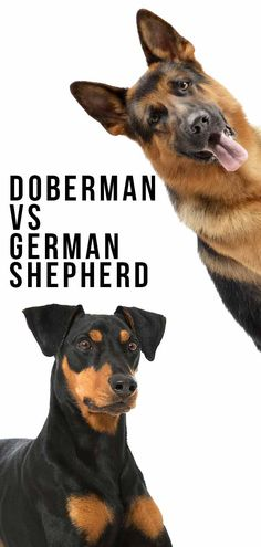 Doberman vs German Shepherd – Which Loyal Breed Is The Best Pet? Top Dog Breeds, Large Dog Breeds, German Shepherd Temperament, Large German Shepherd, Doberman Pinscher Dog, Dog Show, Big Dogs, Rottweiler, Rangoli Designs