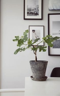 FIKONTRÄD (Jasmina Bylund) this is supposedly a ficus tree? black-grey-white colours with the green House Plants Decor, Plant Decor, Indoor Garden, Indoor Plants, Ficus Tree, Interior Plants, Deco Design, Green Plants, Houseplants