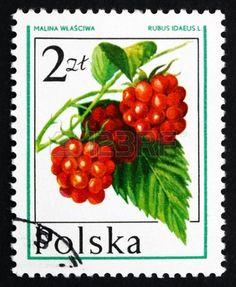 POLAND - CIRCA 1977: a stamp printed in the Poland shows Raspberry, Rubus Idaeus, Forest Fruit, circa 1977