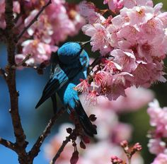 animals, beautiful, birds, cherry, cherry blossom, cherry blossoms, flower, japonese, nature