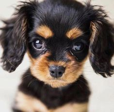 All the things I adore about the Cavalier King Charles Spaniel Puppies King Charles Puppy, Cavalier King Charles Dog, Cute Little Animals, Cute Funny Animals, Spaniel Puppies, Cocker Spaniel, Cute Dogs And Puppies, Doggies, Cute Animal Pictures