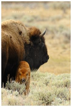 Stay Close by Raymaker.deviantart.com on @DeviantArt   A Bison mother sticks close to her calf as she keeps a watchful eye - Yellowstone National Park, Wyoming