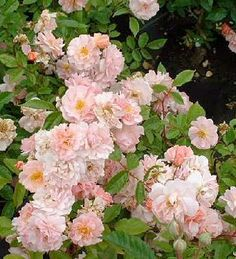 Rosa x moschata Cornelia