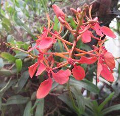INSF Mizoram: Red Vanda Renanthera_imschootiana
