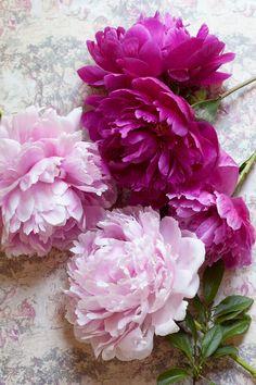 Peonies by Susan Findlay - Stocksy United All Flowers, My Flower, Pretty Flowers, Flower Power, Wedding Flowers, Peonies Bouquet, Pink Peonies, Peony Arrangement, Flower Arrangements