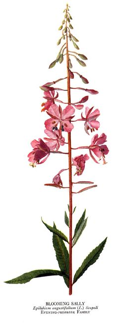 Athabaskan legend says that each fireweed plant represents the soul of a tree lost in a forest fire. Such a beautiful idea.
