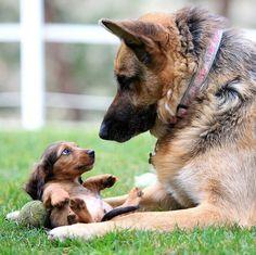 German shepherd with a puppy dachshund friend