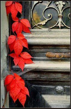 Scarlet red leaves against a weathered rusty door. Red Leaves, Autumn Leaves, Shades Of Red, Fall Season, Belle Photo, Mother Nature, Color Splash, Seasons, Painting