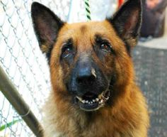 9/19/16  Twix is a senior German Shepherd who has been at Animal Care &…