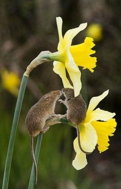Tiny hugs under the daffodil