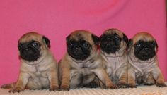 Cute Apricot Pug Puppies