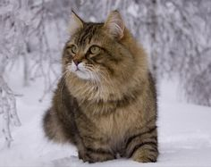 Pictures of Siberian Kittens | Siberian Cats. About the breed.