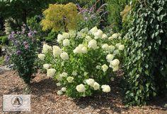 Hydrangea+paniculata+'Silver+Dollar'+-+Hortensja+bukietowa+'Silver+Dollar'