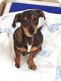 Dublin, CA - Dachshund Mix. Meet Oscar a Puppy for Adoption.