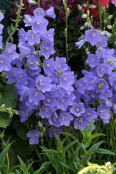 100 pcs/bag Bell Orchid Seeds Flower Campanula bonsai Flower seeds 9 colors Convallaria Seed plant pot for home garden Cut Flowers, Purple Flowers, Wild Flowers, Beautiful Flowers, Orchid Seeds, Flower Seeds, Types Of Roses, Garden Plants, Perennials