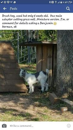 Raising Goats, Cute Goats, Goat Farming, Bucky, Farm Life, Cats, Animals, Gatos, Kitty Cats