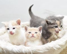 It's raining kittens! A local man found these three outside today. Fortunately, he is willing to foster for two weeks until they're old enough to be adopted out. Anyone in the DC area interested in adopting a lil ragamuffin or two? Just look at those dang faces!!! ✨ DM me for details - local adopters (DC/MD/VA) only! @alleycatrescue #kittenseason #kittenlady