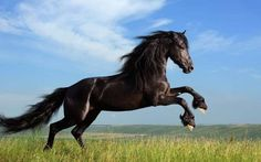 Find Beautiful Black Horse Playing On Field stock images in HD and millions of other royalty-free stock photos, illustrations and vectors in the Shutterstock collection. Thousands of new, high-quality pictures added every day. Tier Wallpaper, Horse Wallpaper, Animal Wallpaper, Iphone Wallpaper, Cloud Wallpaper, Computer Wallpaper, Wallpaper Desktop, Black Stallion Horse, Black Horses
