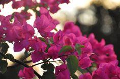 Bougainvillea flower, Barbados
