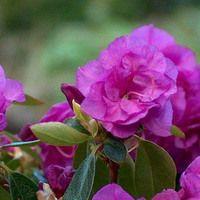 Rhododendron 'April Rose', 'April Rose' Rhododendron, Early Season Rhododendron, Purple Azalea, Purple Rhododendron, Purple Flowering Shrub, Evergreen Rhododendron
