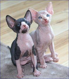 hairless kittens. so cute