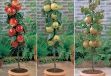 Dwarf fruit trees for patios and balconies!