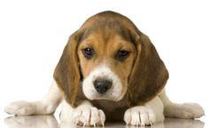 pocket beagles | Beagle (Pocket Teacup Beagles) Information Pictures Facts About Beagle ...